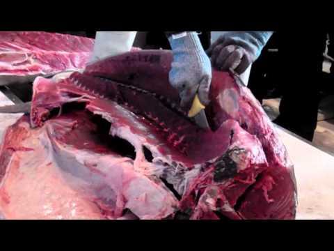 Como se abre un atún rojo