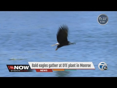 Bald eagles from around North America gather in Monroe