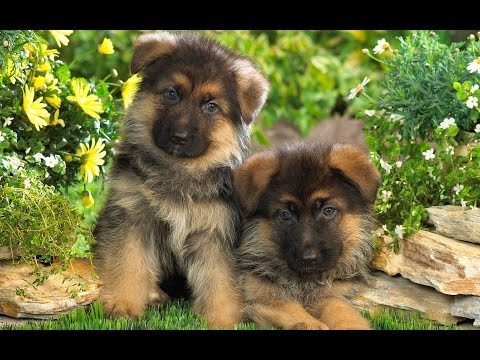 German Shepherd Puppy vs. German Shepherd Puppy
