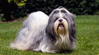 SHIH TZU BARKING - SHIH TZU HOWLING AND BARKING COMPILATION 2016