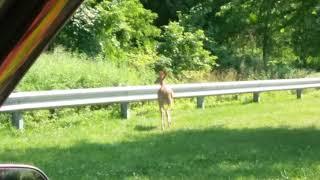 Staten island deer summer june 2019