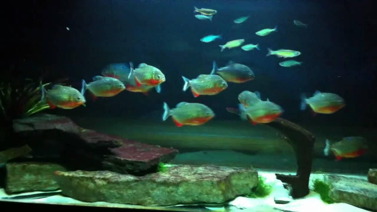 Piranha tank includes cichlids and giant danios youtube for Giant danio fish
