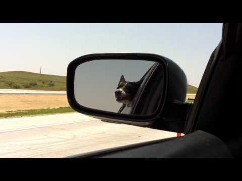 向かってくるものは敵?!対向車に向かって吠える犬