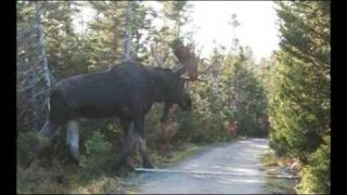 A Giant......Moose?