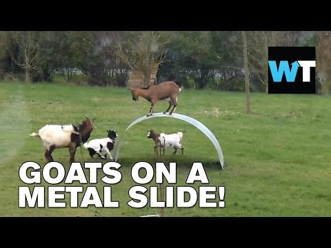 Goats On A Metal Slide + Japanese Girl Rabbit Attack | What's Trending Now video