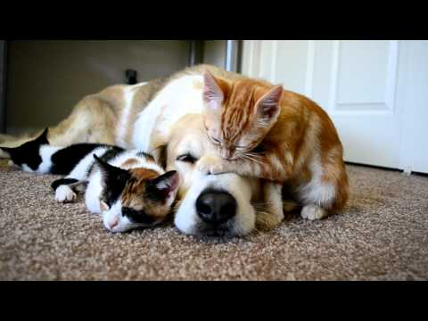 Video 34: CUTENESS OVERLOAD!! A dog sleeping with his KITTENS