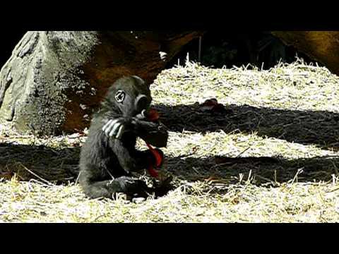 2011年1月18日の上野動物園のゴリラの赤ちゃんコモモ。Cute baby gorilla.