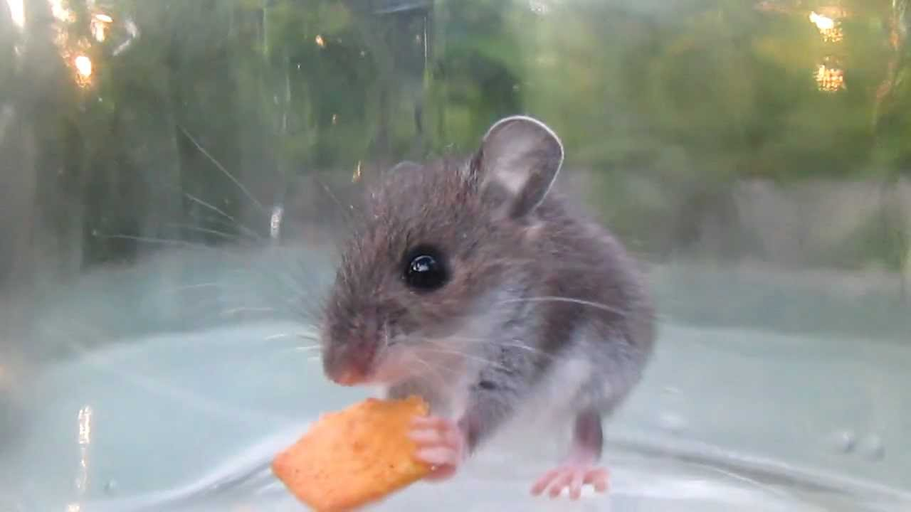 V Mouse Eating Scene Adorable mouse eating ...