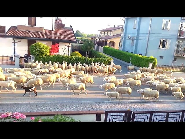 Several sheep stopped to snack on my neighbor's hedge, I couldn't stop laughing.