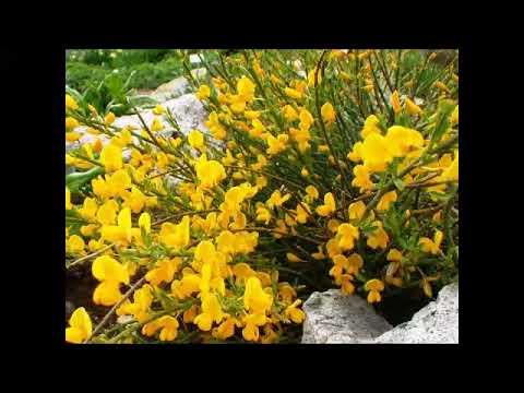 Färberginster, Heilpflanze