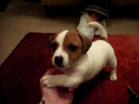 My jack russel called archy youtube - Jack russel queue coupee ...
