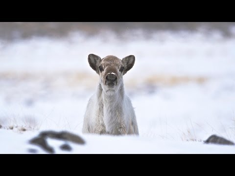 Science Bulletins: Declining Sea Ice Affects Caribou