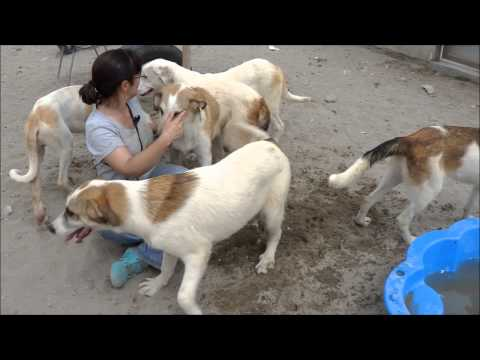 Animalinneed: Video of the abandoned Mastin puppies