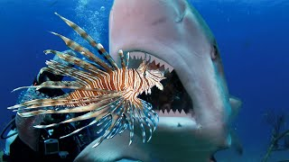 Teaching Sharks (and Eels) to Attack Invasive Lionfish