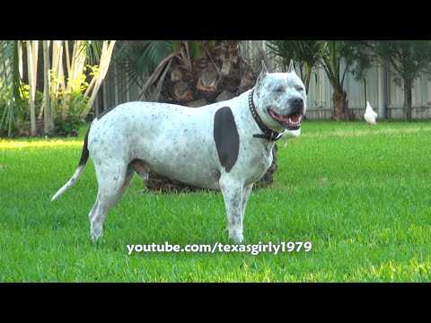 Happy Hump Day!!! Pit Bull Sharky Watching Chicken Porn... :s Omg!!! video