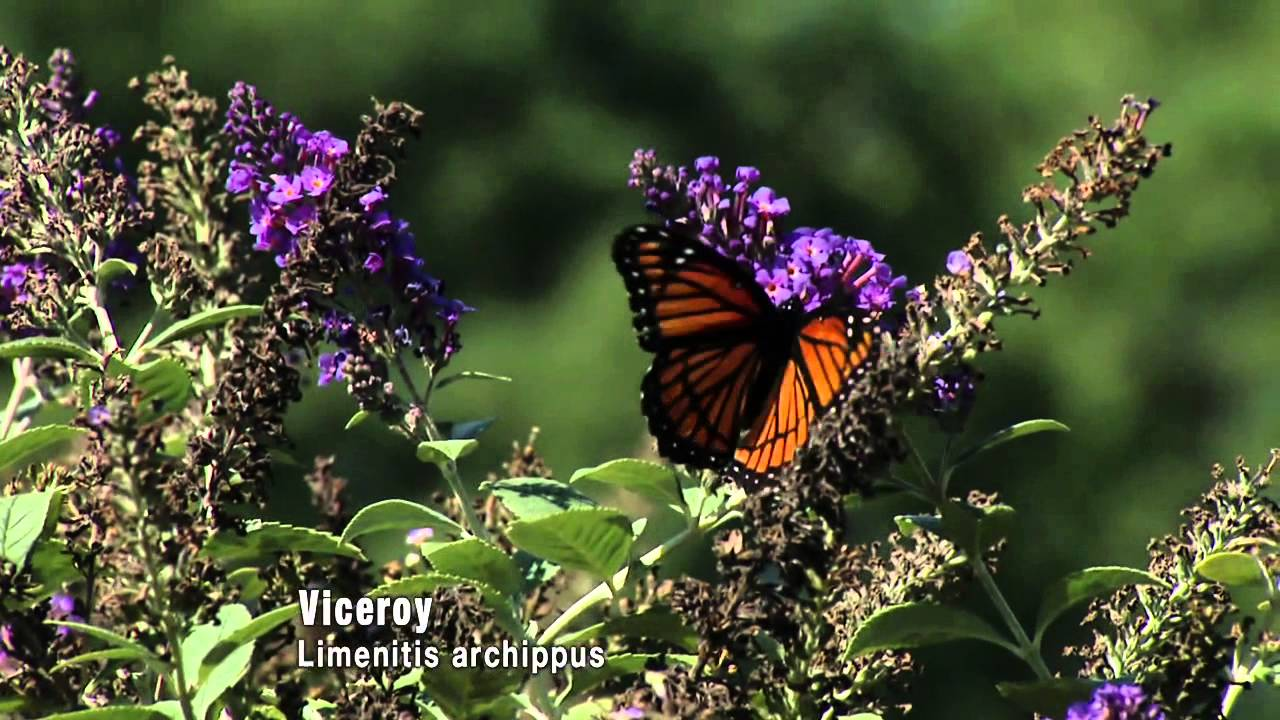 Butterflies: Camouflage and Mimicry - YouTube