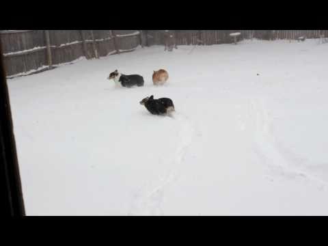 Corgis loving the Snow