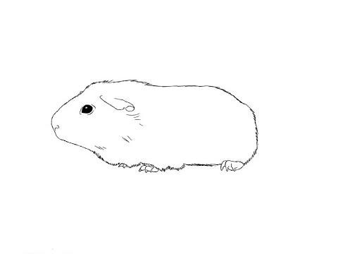How to Draw a Guinea pig / Как нарисовать морскую свинку