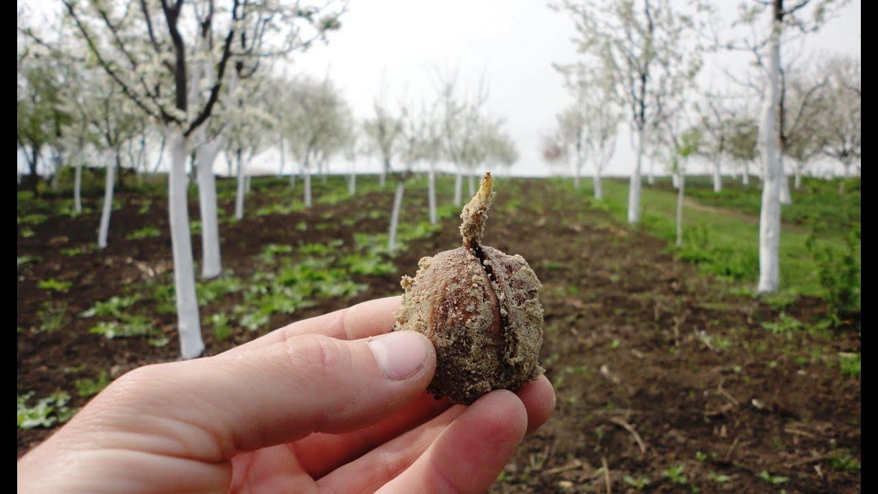 Технология выращивания ореха грецкого в украине 25