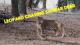 Close Encounter : Ranthambore Leopard and Sambar Deer