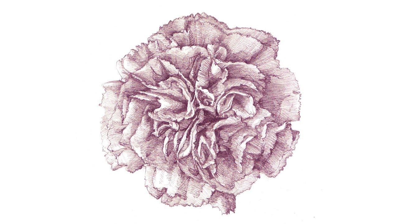 Carnation Pencil Drawing a Carnation Drawing Process