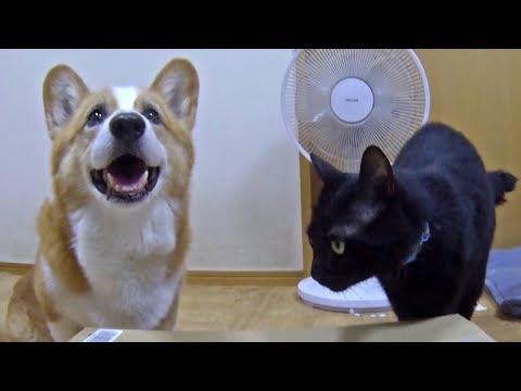 Thank you for the presents / Amazonギフトありがとうございます Goro Roku Kuro ゴローさん ロクさん クロさん dog cat コーギー 犬 猫