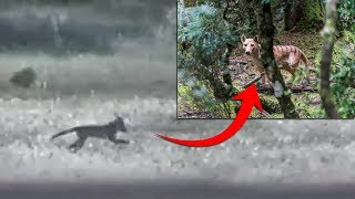 ¿Sigue Vivo el Tigre de Tasmania? El Extinto Animal Grabado en Vídeo