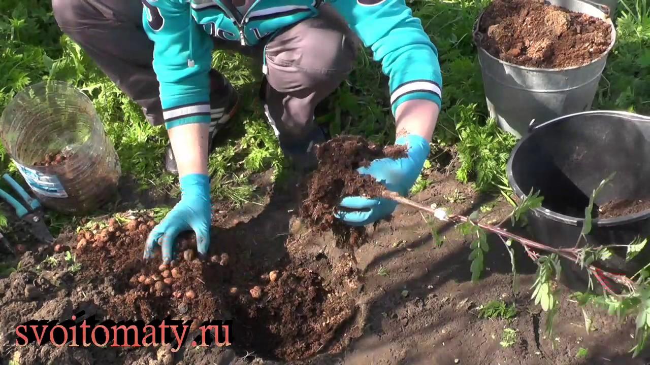 Как сажать черноплодную рябину осенью 951