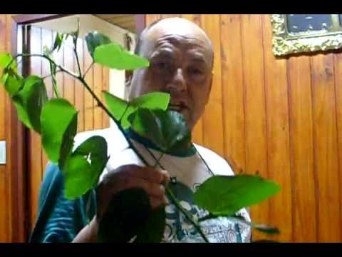Pata de Vaca - Insulina natural - YouTube