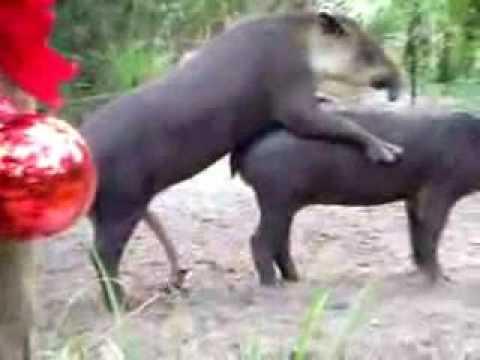 ANIMALES COPULANDO MUY GRACIOSO