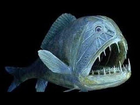 Pez monstruoso y letal de la fauna abisal anoplogaster for Pesci con la e