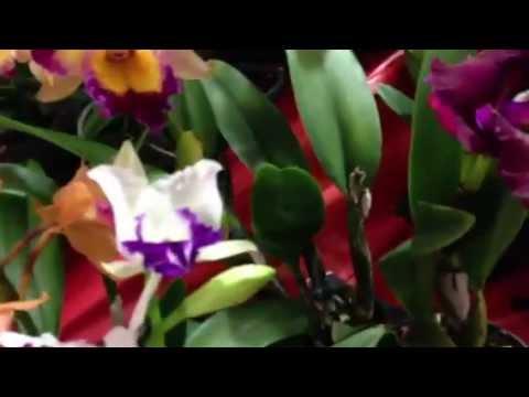 Cho Hoa Lan (Orchids)Tet 2013 Little Saigon CA (Asain Garden Mall) Tuyet's Orchids