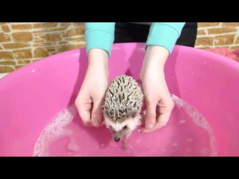 Купаем ежика!! SPA for Hedgehog