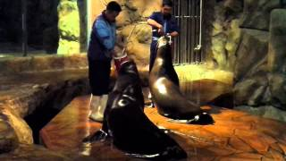 2013 海洋公園 「冰極天地」餵飼海豹 2 (Seal Feeding 2 @ Polar Adventure of Ocean Park)