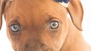 Prudence is for Adoption with Dogs Behind Bars Rescue, Perth, Western Australia