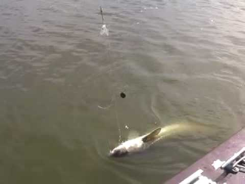 Delta Striper Sturgeon catfish Action Sacramento River