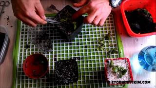 How to Propagate Cephalotus Propagation Leaf Pitcher Pullings Division Cephalotus Çoğaltma