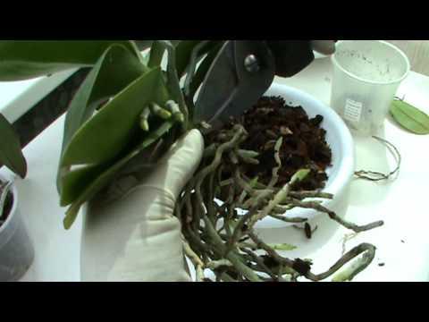 Видео как пересадить орхидею