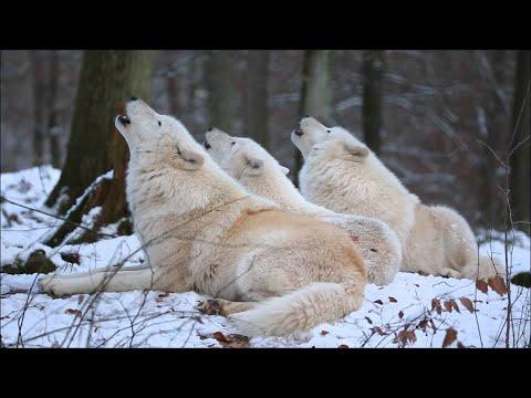 3匹のオオカミが揃って遠吠えします。