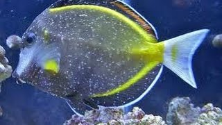 How to treat white spot how to treat ick ich in your for Ick in fish tank
