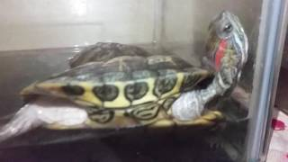 This is how my Red Eared Slider sleeps... [Hilarious]
