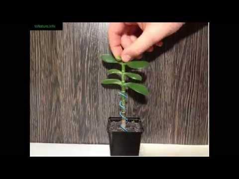 Когда нужно сажать денежное дерево 69