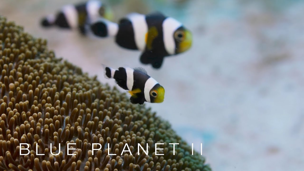 Family of clownfish work together - Blue Planet II: Episode 3 Preview - BBC One