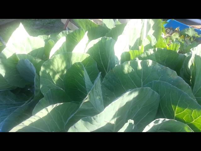 Aquaponics system grow bed update: cabbage