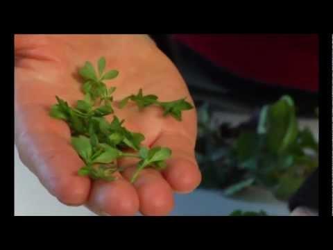 Wildkräuter Und Essbare Heilpflanzen:  Waldmeister