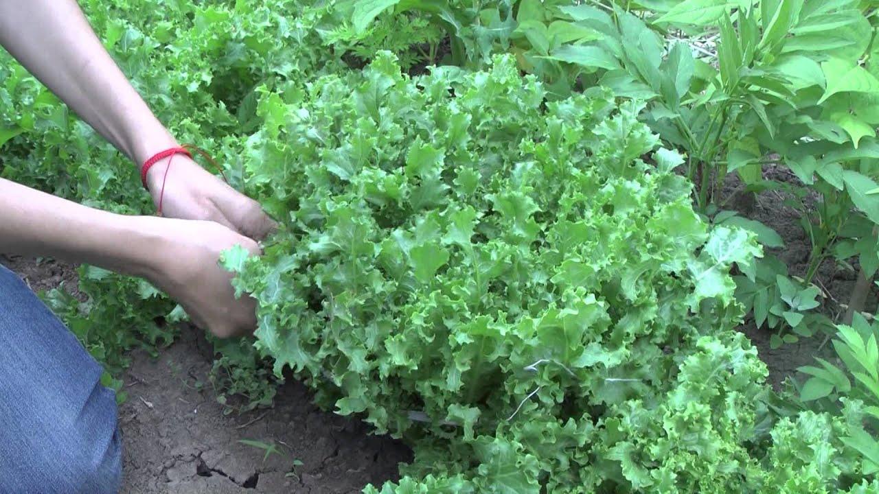 Салат радичио выращивание на даче 65
