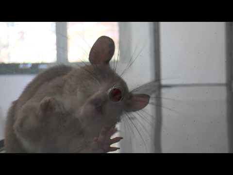 African Giant Pouched Rat during Trial at Apopo Lab in Maputo Mozambique