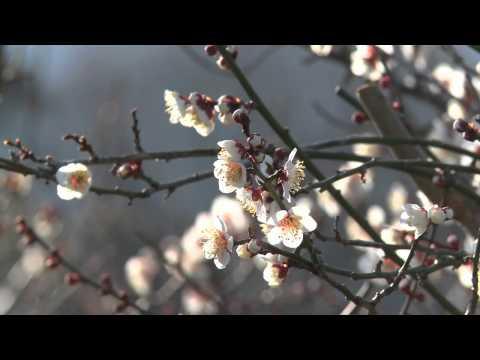 海津市 「南濃梅園」 ~梅の花~