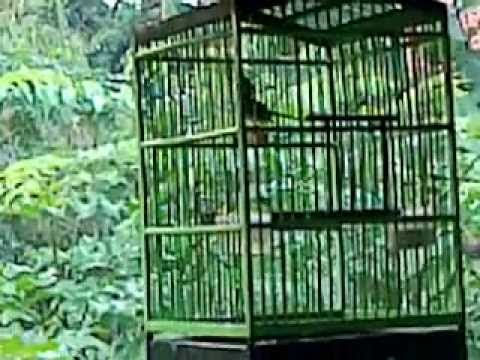 Burung Prenjak Juara Limbangan.3gp video