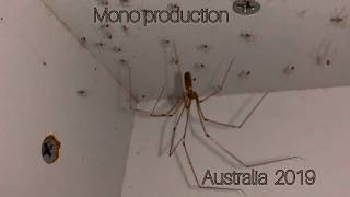 Daddy - Long - Legs spider with babies! Australia 2019 (Pholcidae)